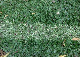 rumput gajah mini (Pennisetum purpureum schamach variegata )