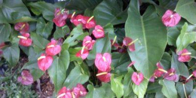 cara merancang Anthurium di bawah tanaman perdu.