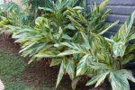 cara merancang Ctenanthe lubbersiana (Alpinia Vittata).