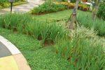 cara merancang iris Trimezia martinicensis-7.