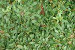 51.rumput gajah mini (Pennisetum purpureum schamach )