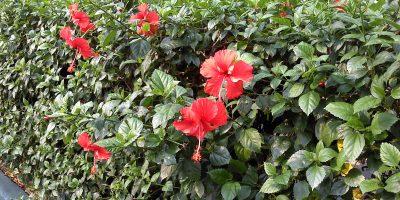 Hibiscus rosa sinensis untuk pagar.