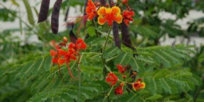 kembang merak-Caesalpinia pulcherrima-bunga warna merah.