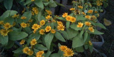 Aster (Asteriscus maritimus) bunga warna kuning.