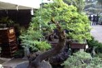 tanaman bonsai dengan bentuk batang dan daun yang eksotik.