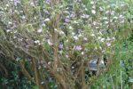 brunfelsia calycina-melati kosta-dengan tinggi 200 cm.