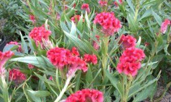 celosia cristata-jengger ayam bunga warna merah.