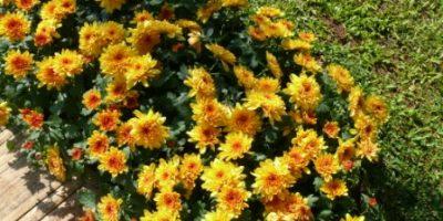 chrysanthemum_indicum-krisan-dominan kuning dan orange-kelopak penuh