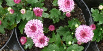 chrysanthemum_indicum-krisan-merah muda gradasi-pot-kelopak penuh.
