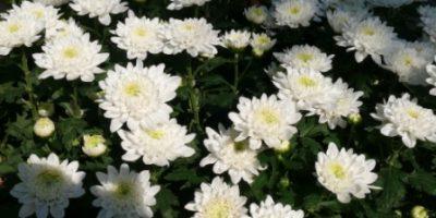 chrysanthemum_indicum-krisan-putih-besar-kelopak penuh.