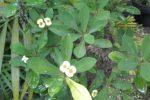 Euphorbia tanaman berduri.