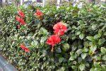 Bunga sepatu (Hibiscus rosa-sinensis L) untuk tanaman pagar.