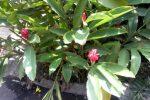 Honje (Alpina purpurata) bunga warna merah.