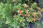pucuk merah.syzygium campanulatum-ukuran pohon pada saat dijual di dalam pot.