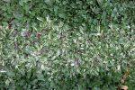 rumput gajah mini (Pennisetum purpureum schamach variegata )=2