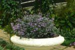 Plectranthus ecklonii-bunga ungu.
