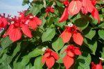 nusa indah.mussaenda erythrophylla