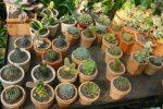 cara memelihara kaktus dan sukulen.