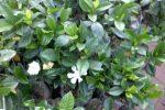 gardenia -kaca piring