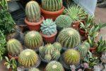 memindahkan tanaman kaktus ke pot.