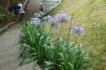 cara merancang -alpinia purpurata-lili ungu.