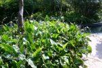 Echinodorus palaefolius-melati air-2