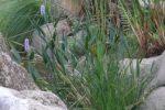 Pontederia cordata var. lanceolata. tanaman air.