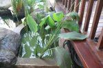 Thalia dealbata-kana air. tanaman air.